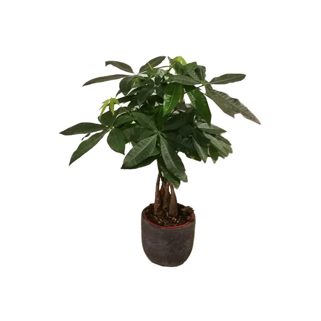 Pachira Acquatica h c.a 60cm con vaso cemento shop online